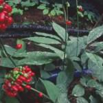 Корень Китайского женьшеня — выращивание и сбор