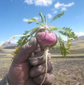 Мака Перуанский женьшень розовый корень