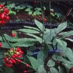 Женьшень — уход при выращивании
