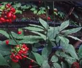 Женьшень - выращивание и уход