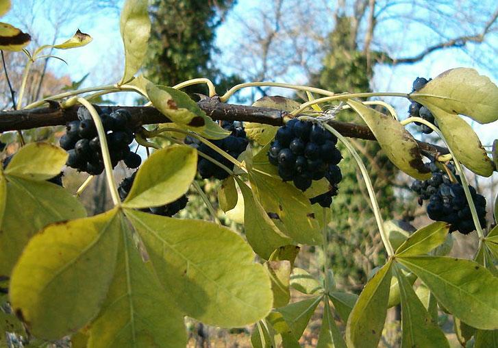 Элеутерококк полезные свойства ягод листьев
