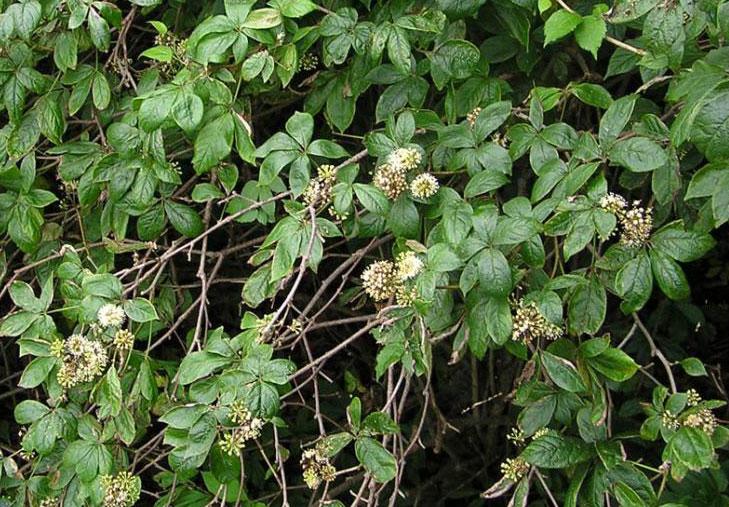 Элеутерококк цветение