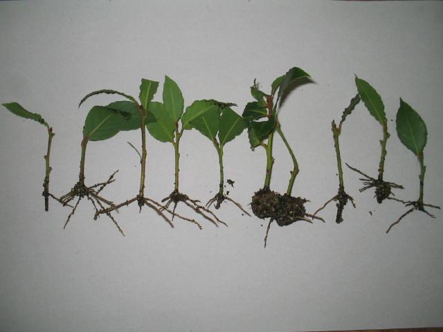 Размножение лимонника отростками