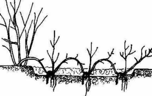 Размножение лимонника отводами