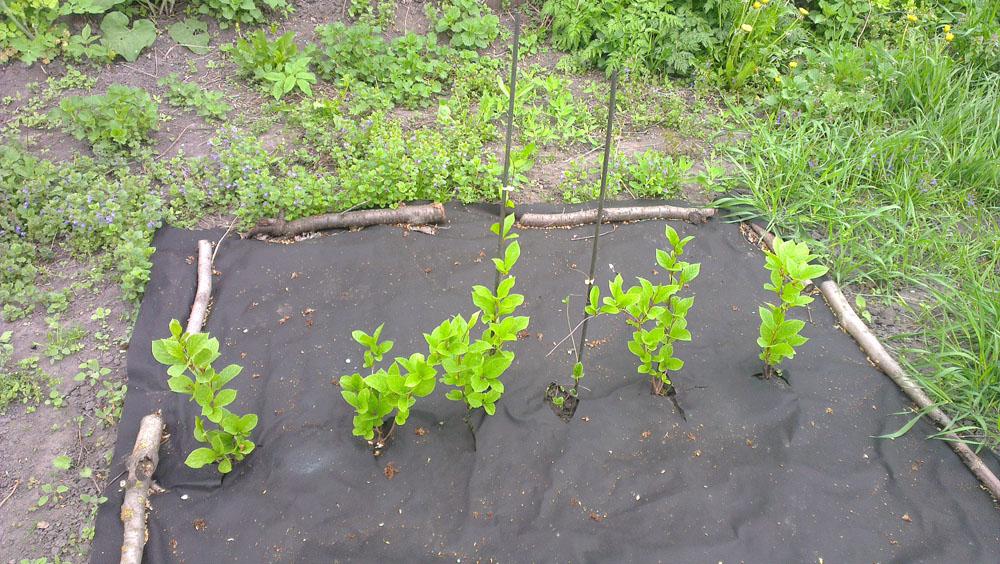 Выращивание лимонника - подготовка к зиме