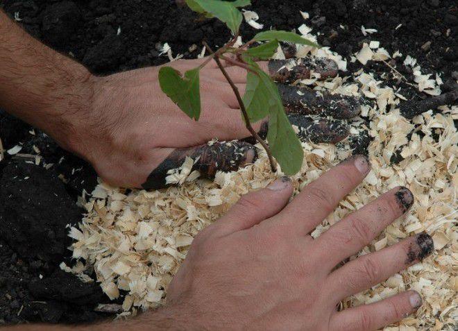 Выращивание лимонника в домашних условиях из саженцев