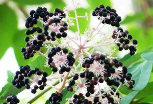 Плоды аралии маньчжурской