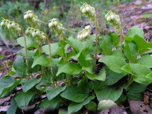 Растение боровая матка - лечебные свойства