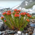 Красная щетка - лечебные свойства и противопоказания