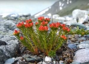 Красная щетка - лечебные-свойства и противопоказания
