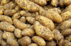 Молодой картофель — польза и вред